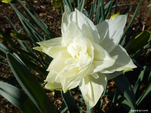Narcyz - Narcissus White Medal