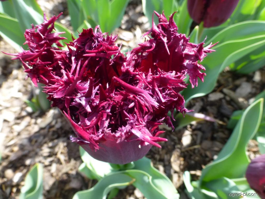 Tulipan - Tulipa Black Jewel