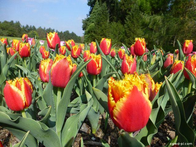 Tulipan - Tulipa Davenport