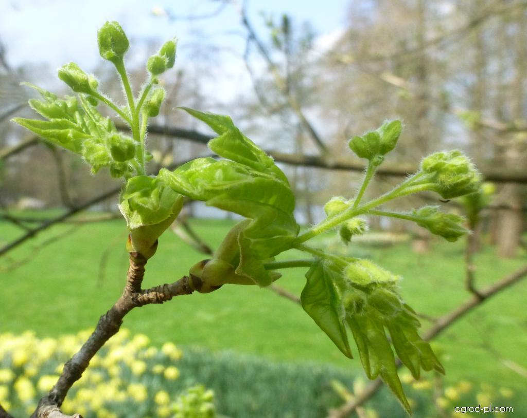 Javor babyka - větévka s květy (Acer campestre)