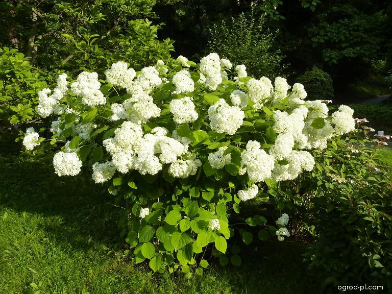 Hortenzie stromkovitá Grandiflora (Hydrangea arborescens)