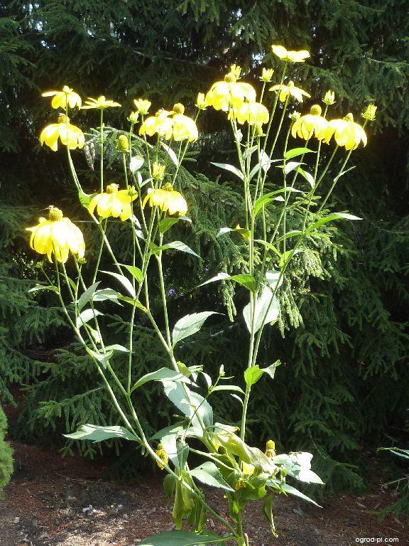 Třapatka Herbstsonne (Rudbeckia nitida)