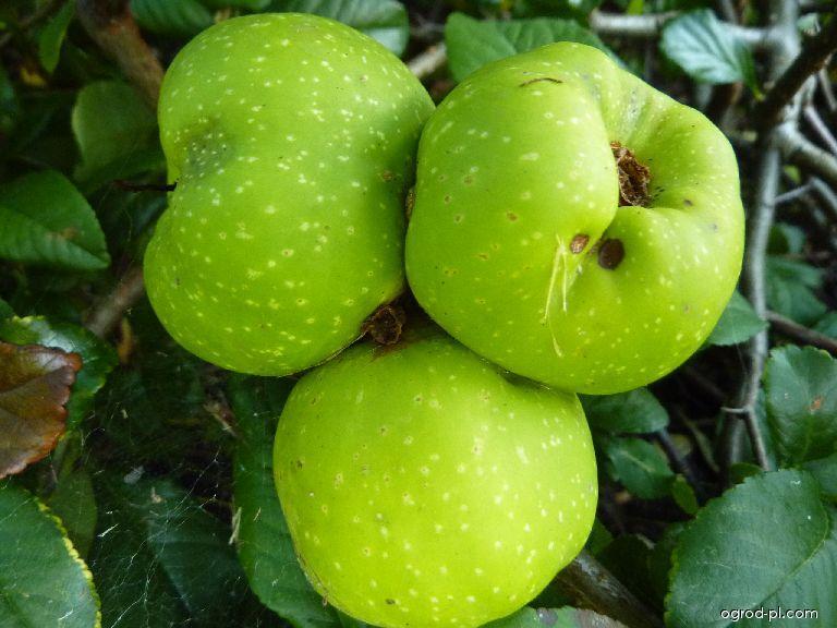 Kdoulovec japonský - plody (Chaenomeles japonica)