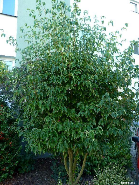 Dřín japonský (Cornus kousa)