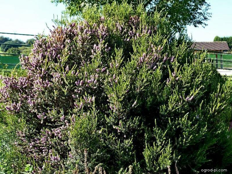 Vřesovec mnohokvětý (Erica multiflora)