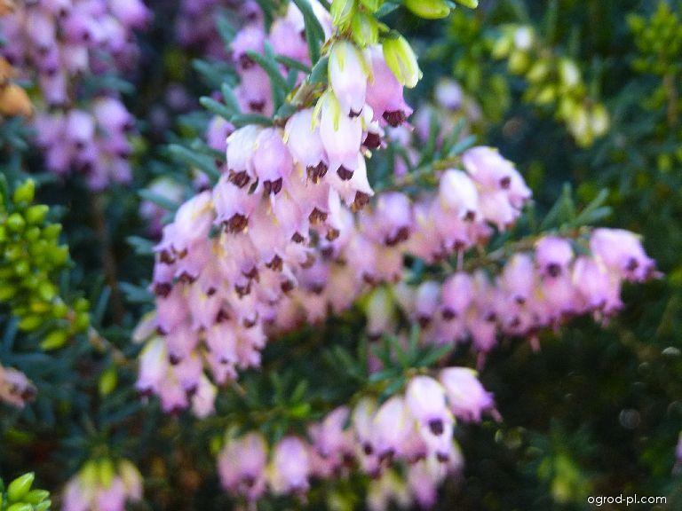 Vřesovec mnohokvětý - květ (Erika multiflora)