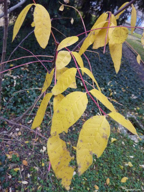 Žlutodřev americký - podzimní list (Zanthoxylum americanum)