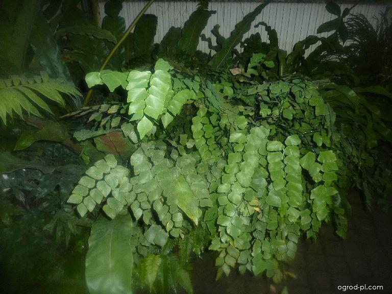 Netík peruánský (Adiantum peruvianum)