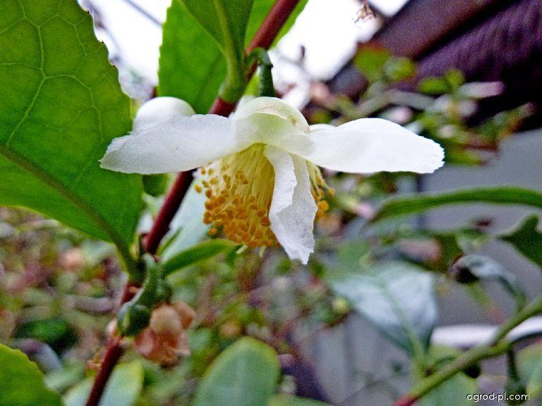 Čajovník čínský - květ (Camellia sinensis)