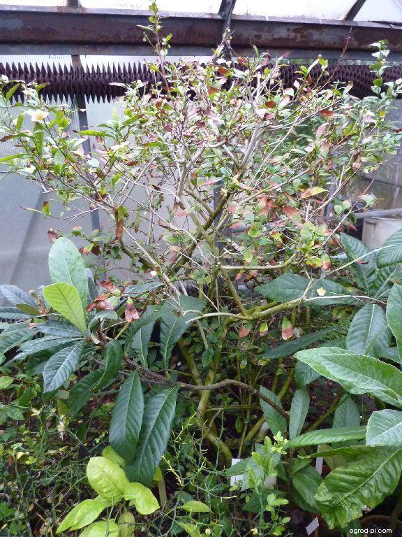 Čajovník čínský (Camellia sinensis)