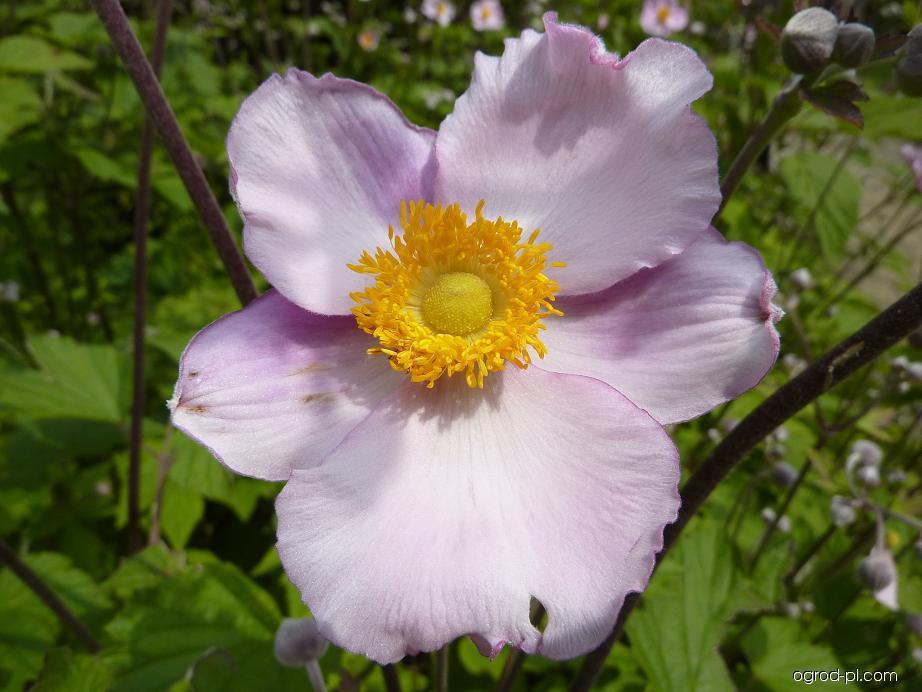 Sasanka japonská - květ (Anemone japonica)