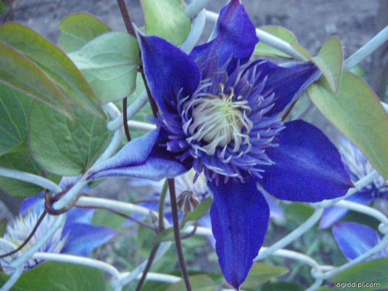 Plamének - květ (Clematis)