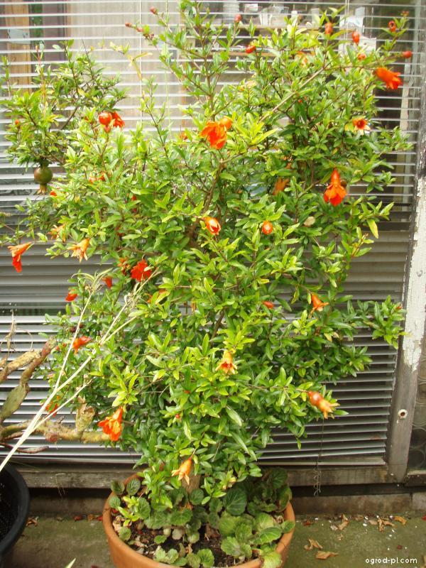 Granátovník obecný (Punica granatum)