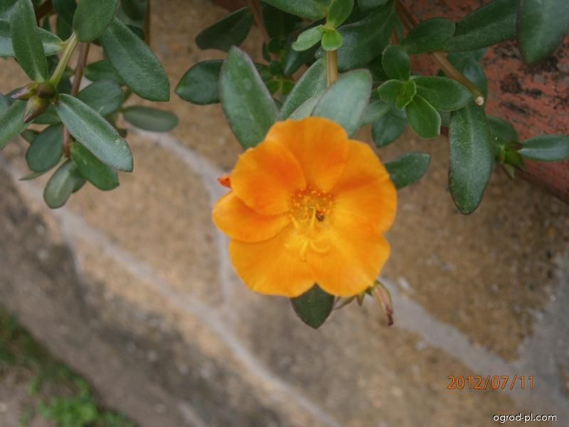 Šrucha (Portulaca grandiflora)