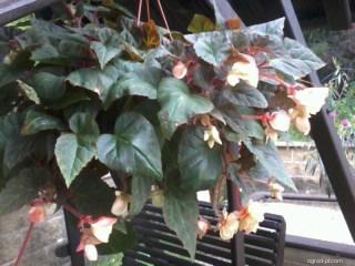 Begonie hlíznatá (Begonia x tuberhybrida)