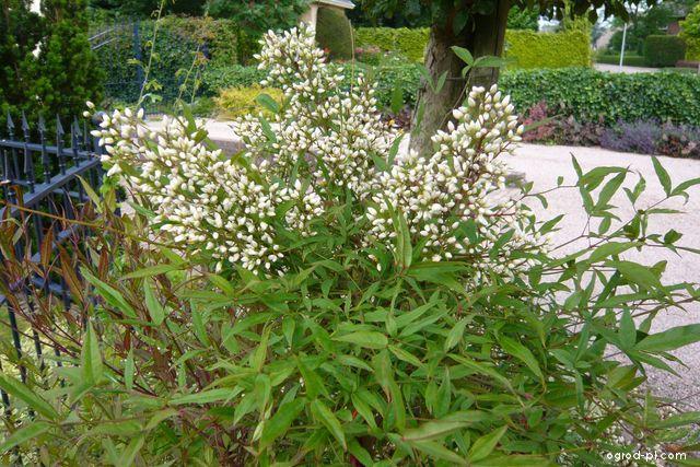 Dřišťál nandina - červenec květ (Nandina domestica)