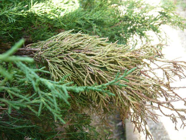 Jalovec prostřední (Juniperus pfitzeriana)
