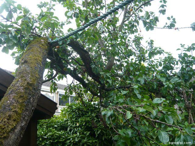 Bluma, Reine Claude doulleins - vytéká klovatina po šoku 2 (Prunus domestica)