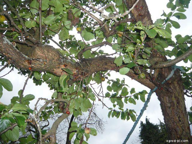 Bluma, Reine Claude doulleins - vytéká klovatina po šoku (Prunus domestica)