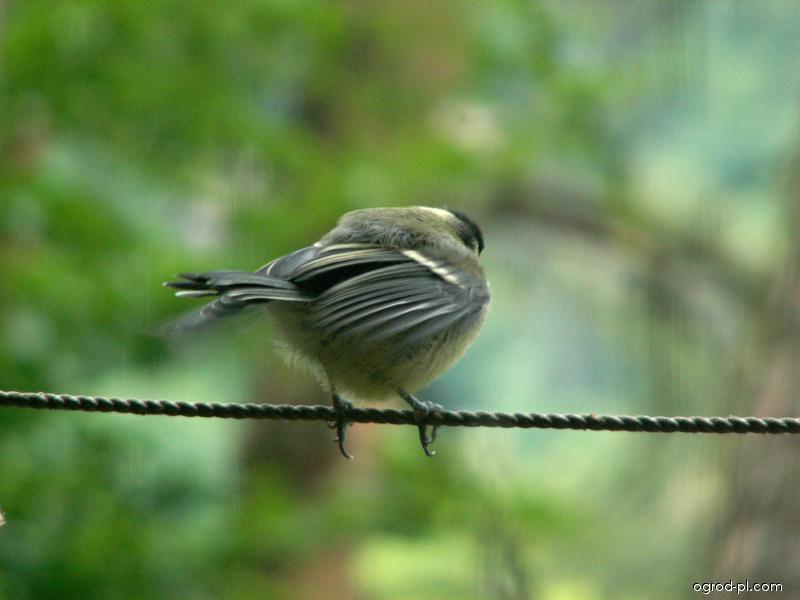 Sýkora koňadra - mládě (Parus major)