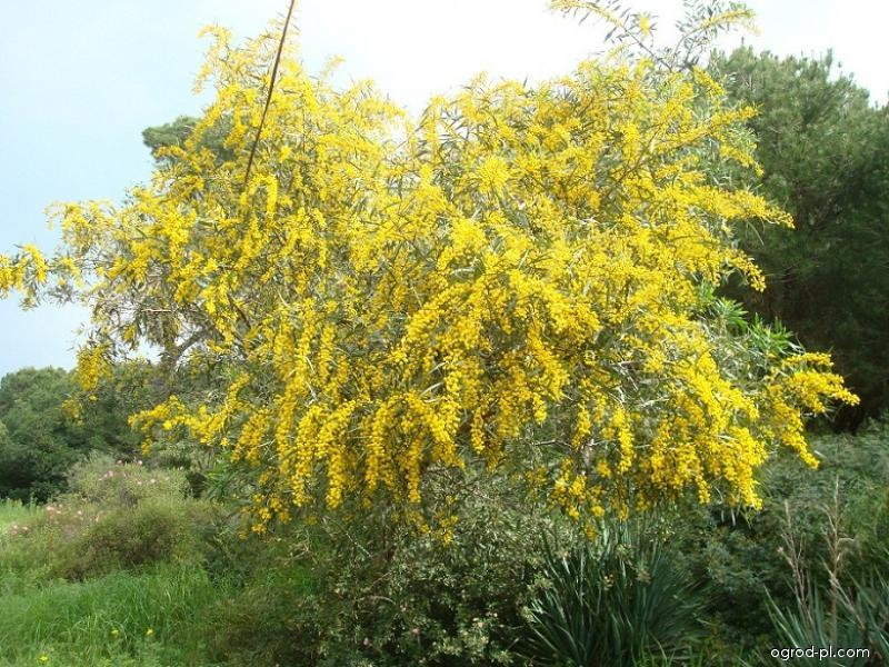 Akácie modrolistá (Acacia saligna)