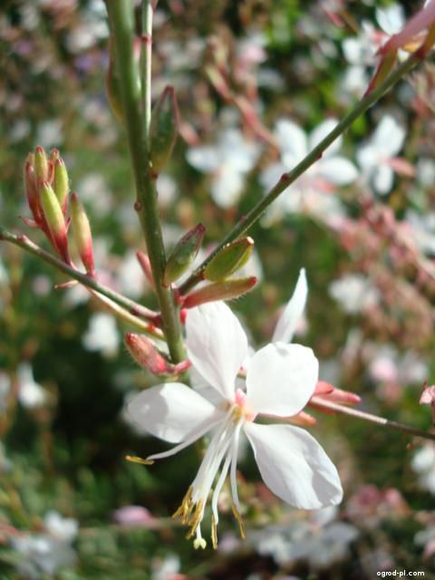 Gaura lindheimeri - detail květu (Gaura lindheimeri)