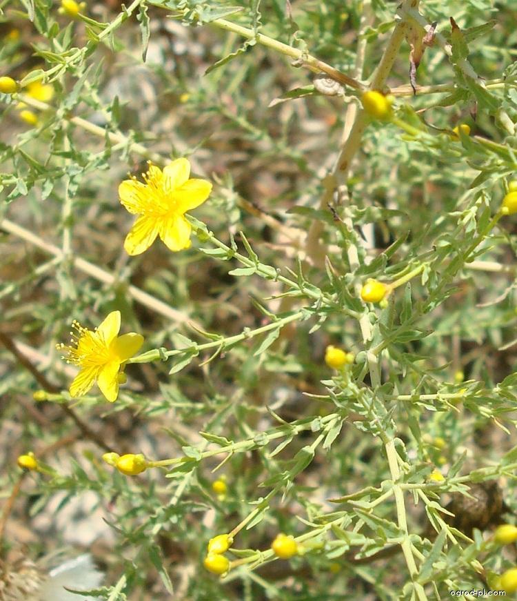 Třezalka (Hypericum triquetrifolium)