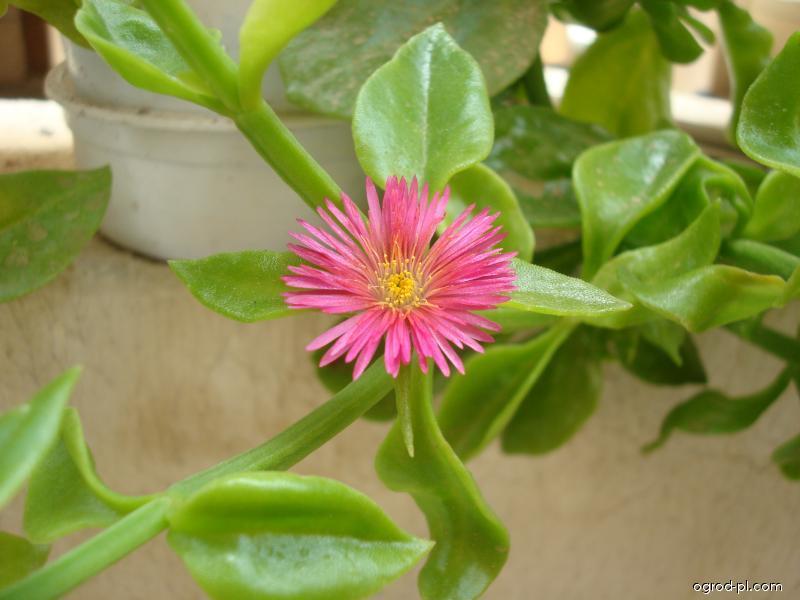 Apténie srdčitá (Aptenia cordifolia)