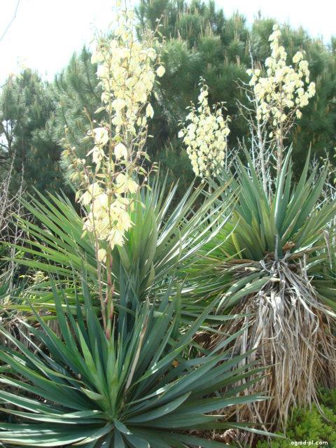 Juka - rostlina (Yucca aloifolia)