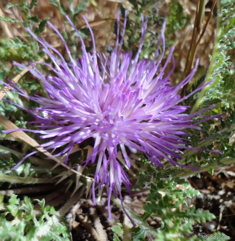 Serratula (Serratula pusilla)