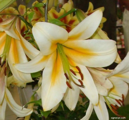 Lilie Orange Starburst (Lilium)