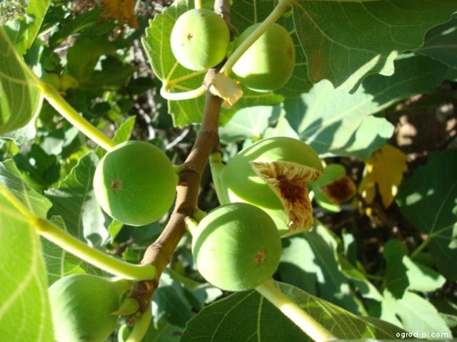 Fíkovník smokvoň - fíky (Ficus carica)