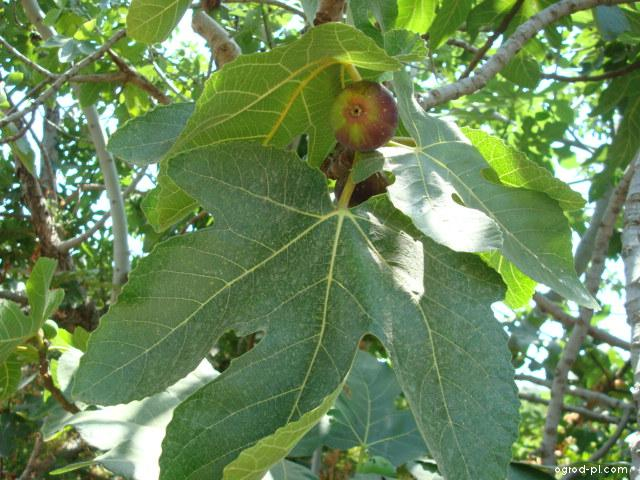 Fíkovník smokvoň - plod, list (Ficus carica)