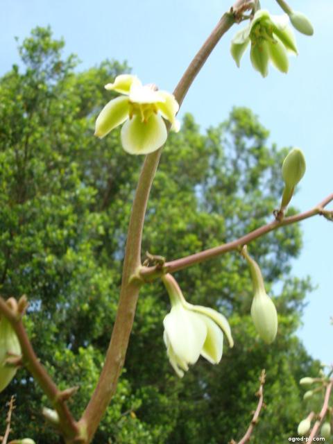 Juka - neznámý druh, detail květu (Yucca)
