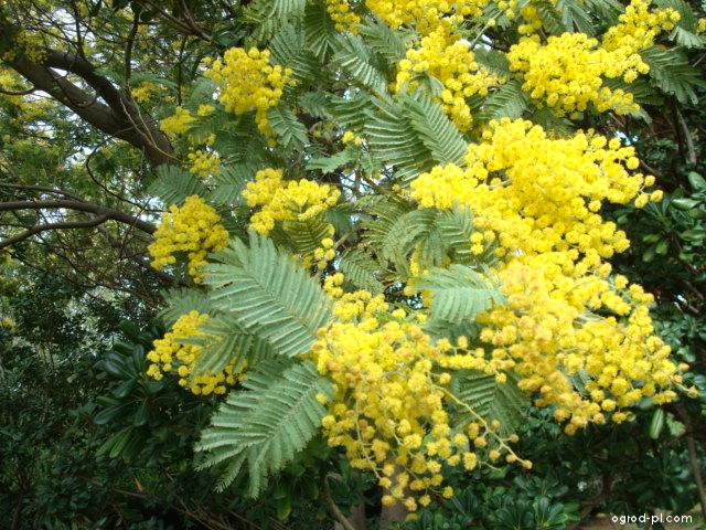 Akácie (Acacia dealbata)