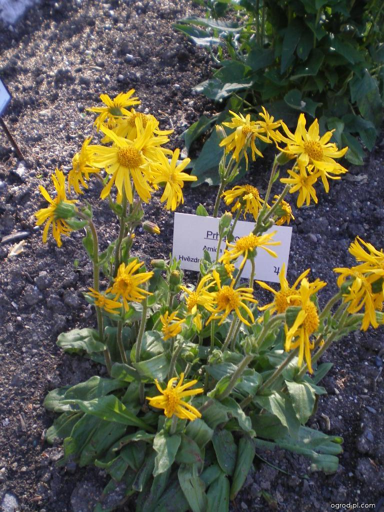 Prha arnika - Botanická zahrada Tábor (Arnica montana)
