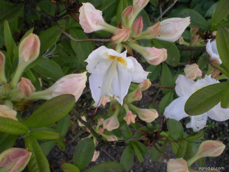 Rhododendron ( Azalea mollis )