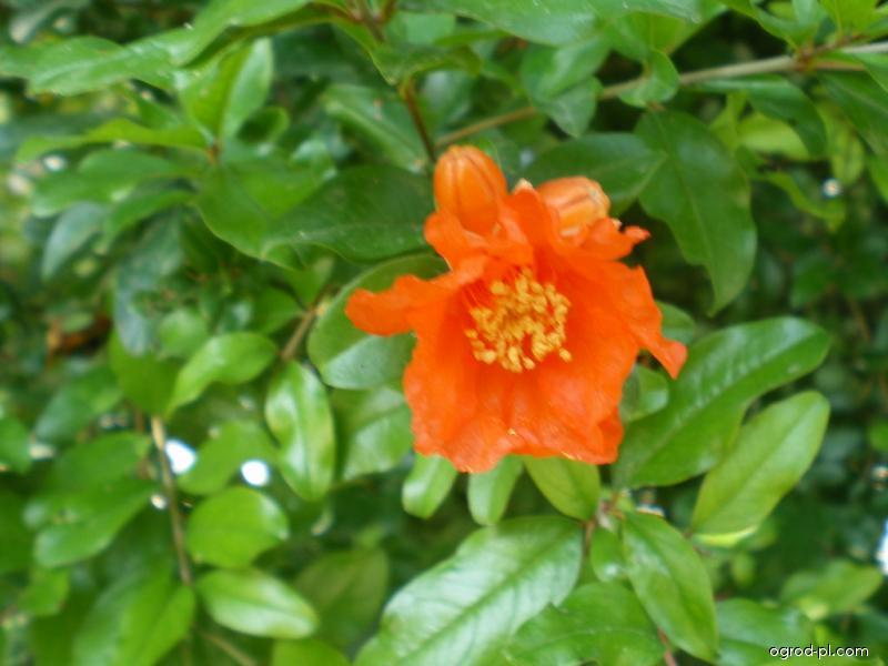 Marhaník obecný, granátovník (Punica granatum)