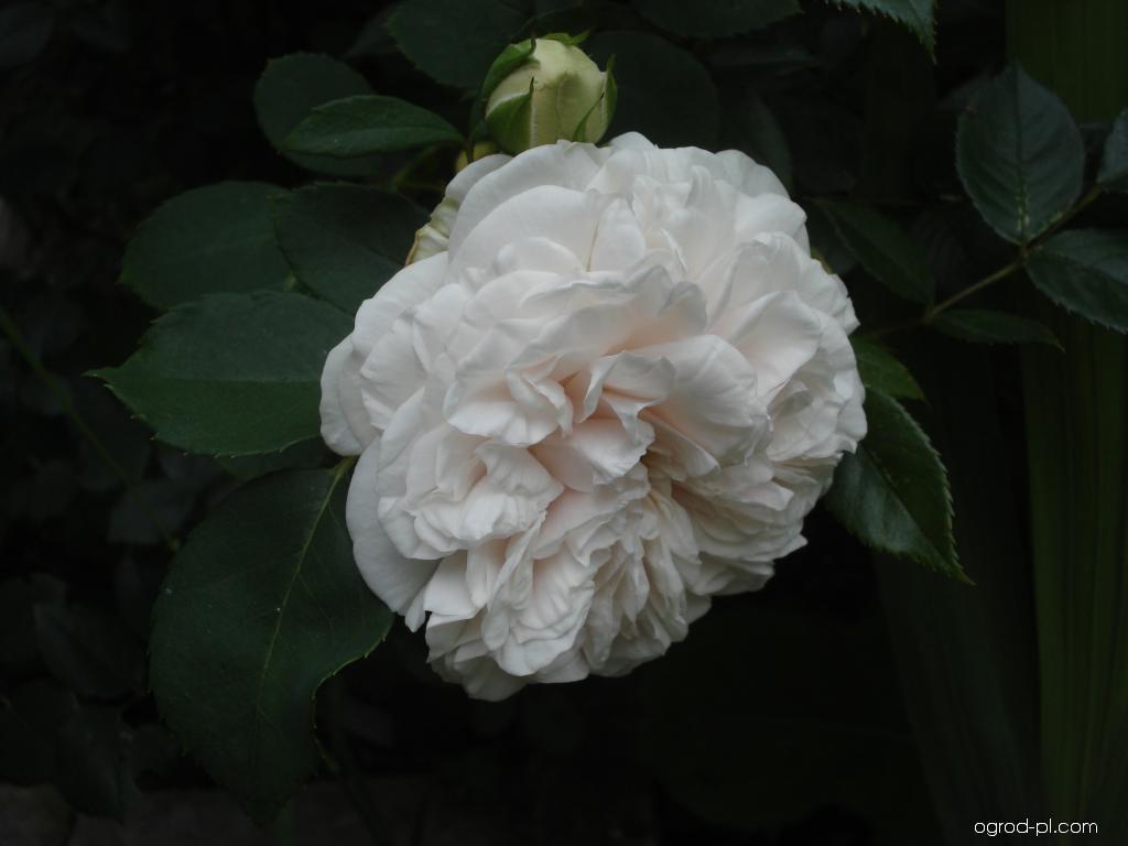 Róża - Rosa Praha 89