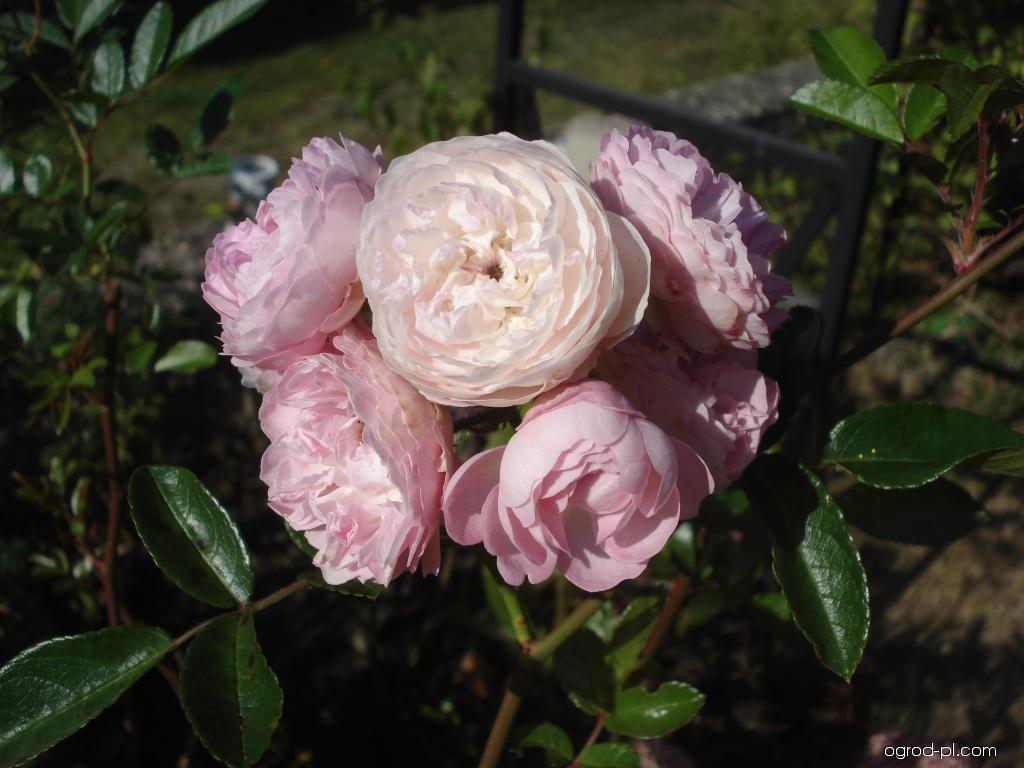 Róża - Rosa Andikó