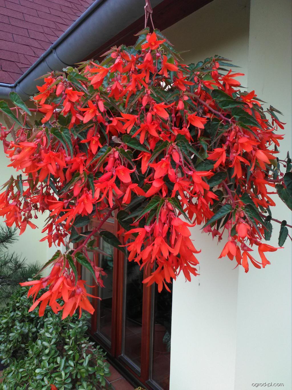 Begonie bolívijská - begonie na sluníčko (Begonia boliviensis)