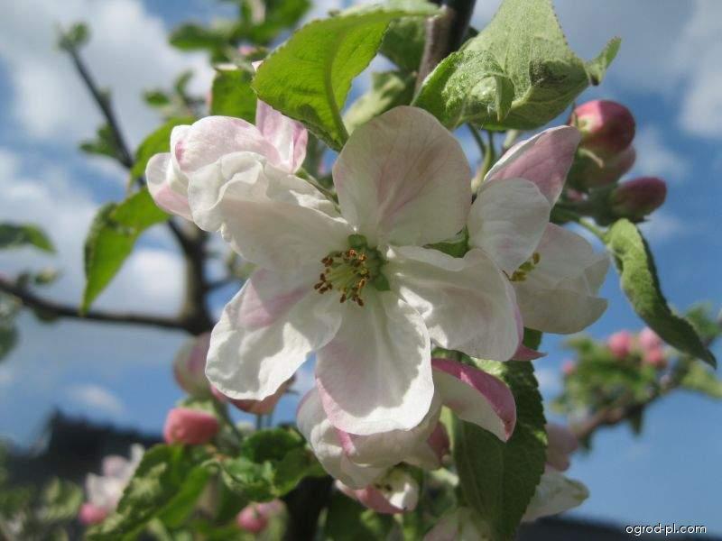 Jabloň domácí - květ (Malus domestica)