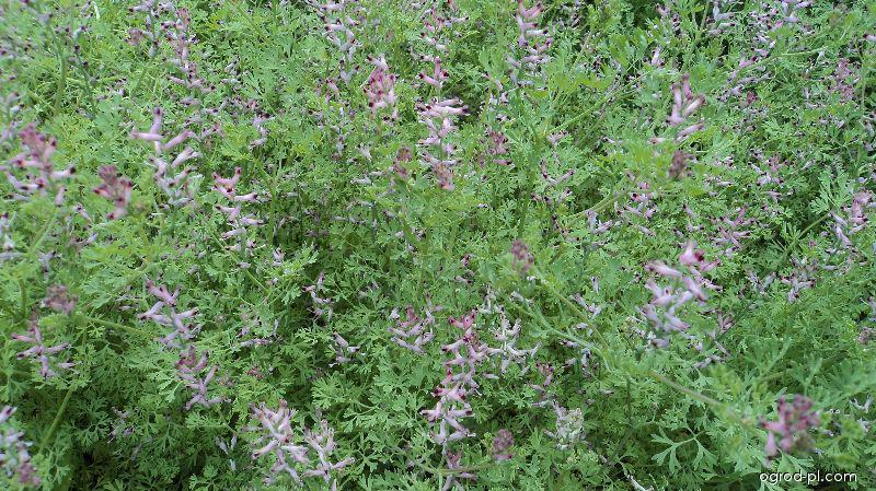 Zemědým lékařský (Fumaria officinalis)