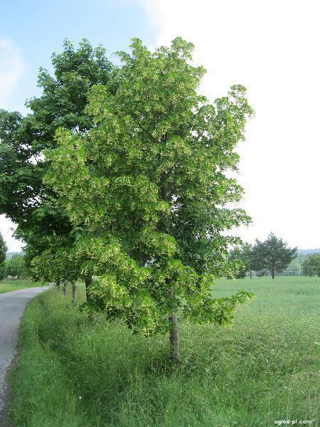 Lipa drobnolistna - Tilia cordata