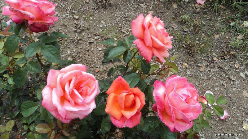 Růže Troika (Rosa sp)