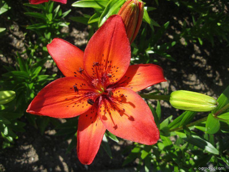 Lilie Aberdeen - Asijský hybrid (Lilium x hybridum)
