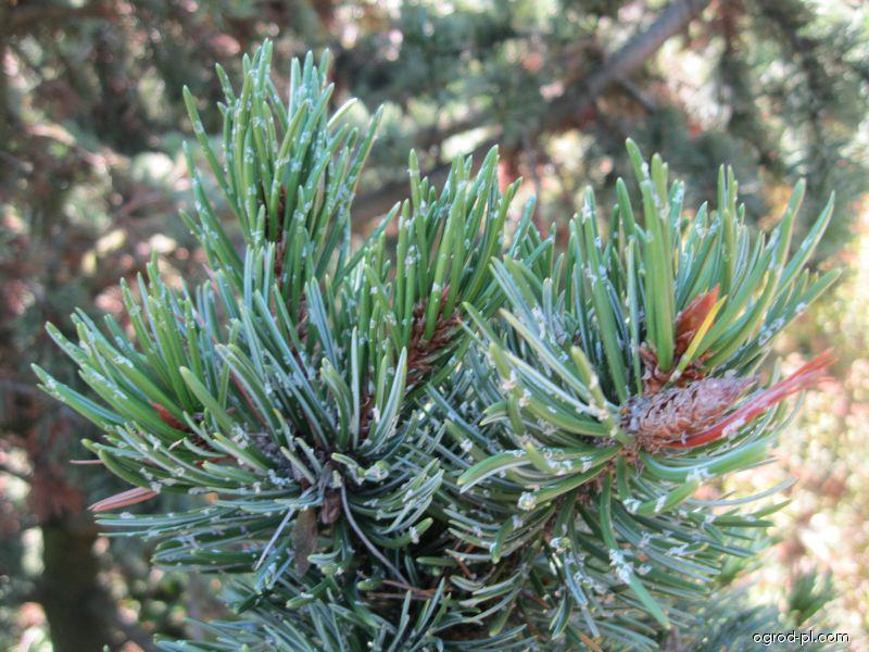 Sosna oścista - Pinus aristata