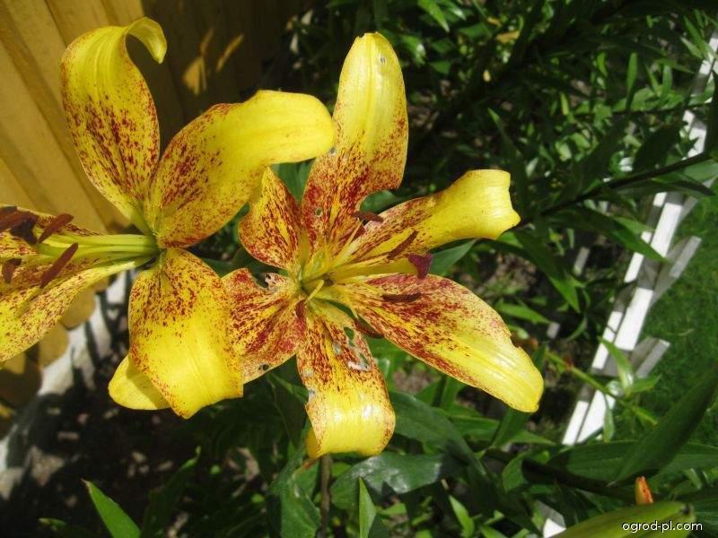 Lilia - Lilium x hybridum Belo Horizonte