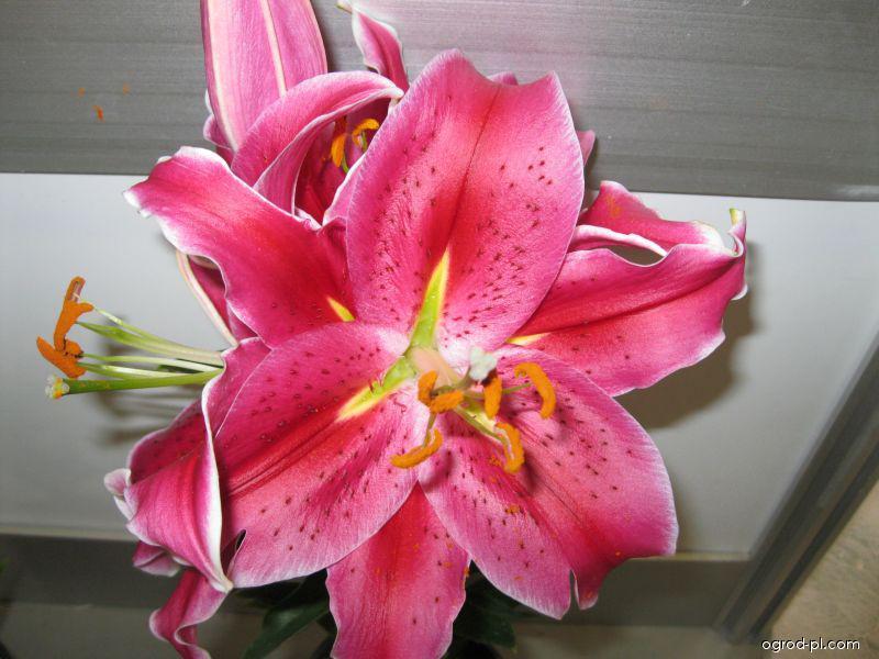 Lilia - Lilium x hybridum After Eight