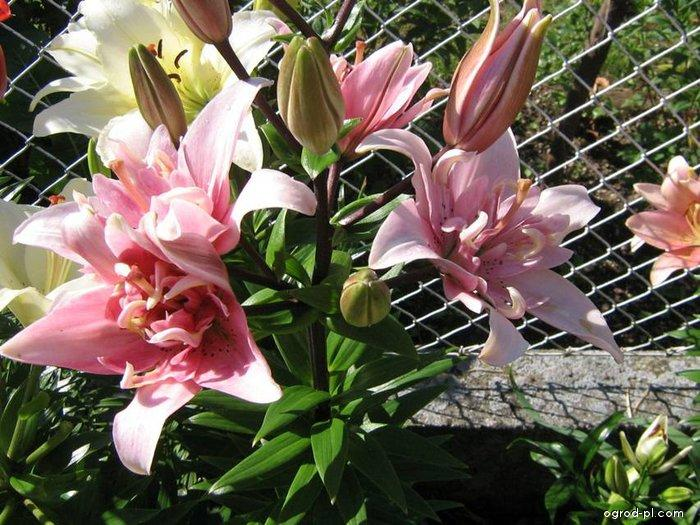 Lilie Elodie - Asijský hybrid (Lilium x hybridum)